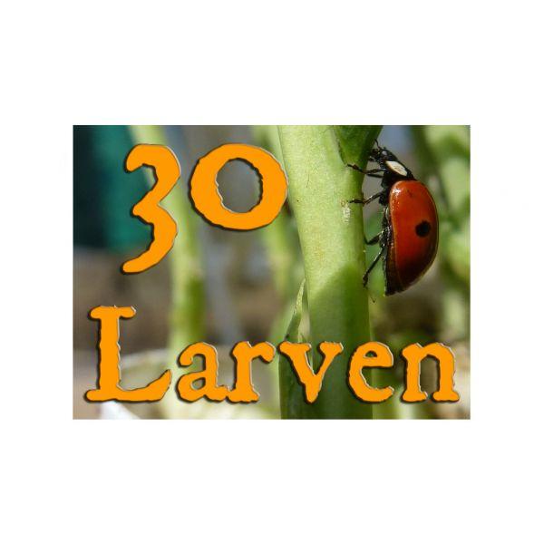 30 larven lieveheerstbeestje