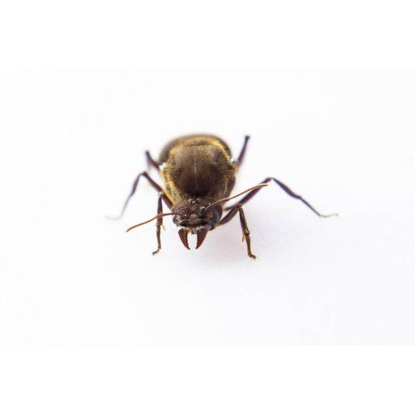 Ant's Kingdom Atta cephalotes queen