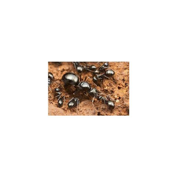 Formica fusca, grauwzwarte renmier 5-15