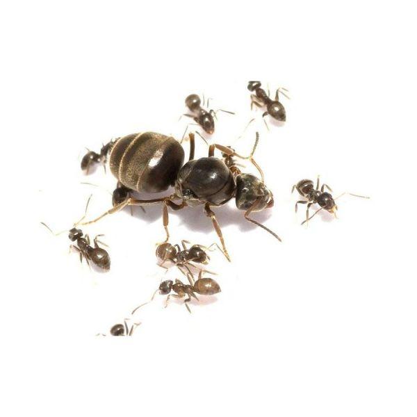 Lasius kolonie