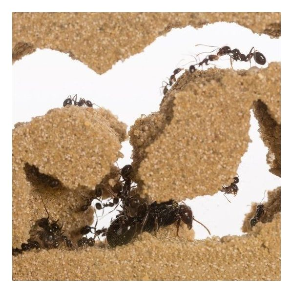 Ants inside t-farm, lasius