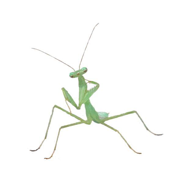 Miomantis Caffra Bidsprinkhaan mantis