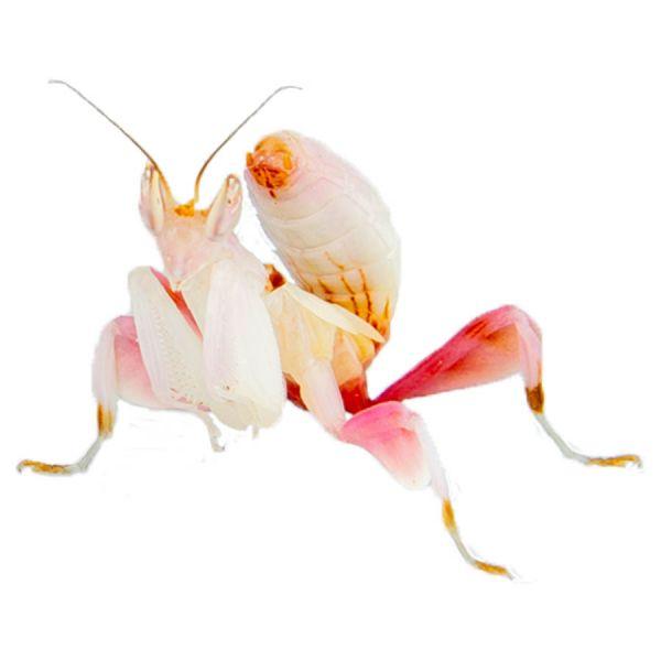 Orchid mantis, orchidee bidsprinkhaan