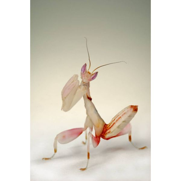 Orchid mantis close up