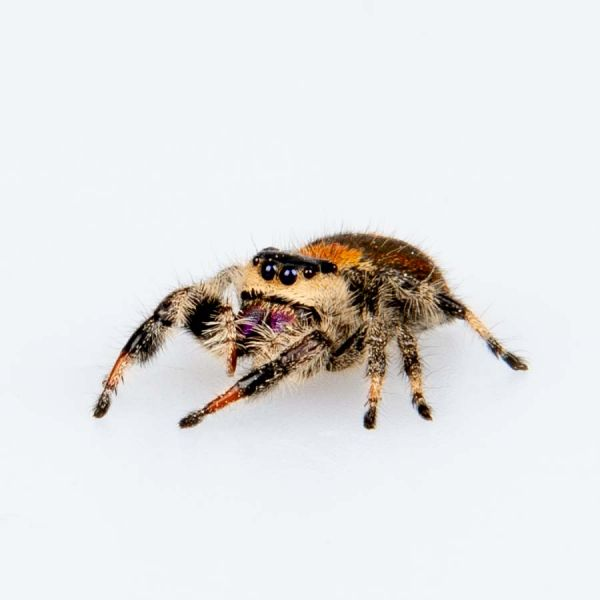 jumping spider, sideview
