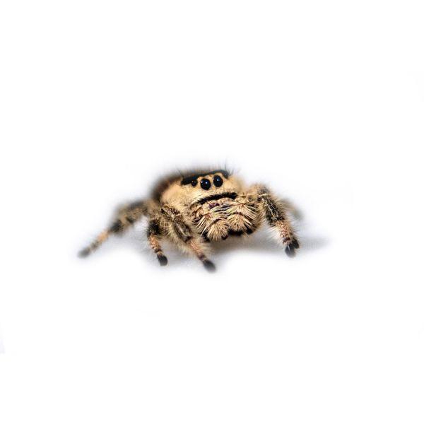 Jumping spider, springspin Regius