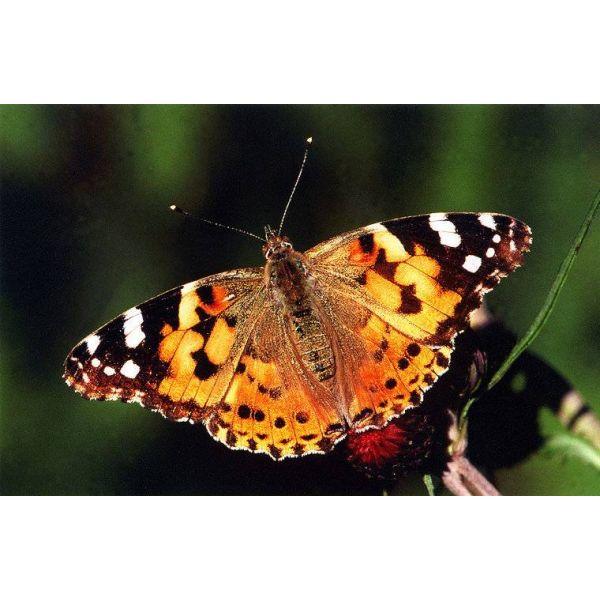 Butterfly, vlinder distelvlinder
