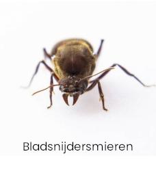 Bladsnijders mieren