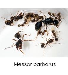 Messor barbarus