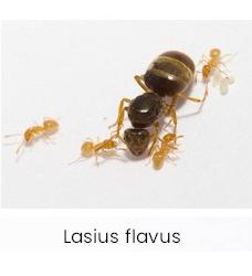 Lasius flavus mierenkolonies
