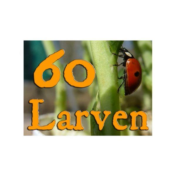60 larven lieveheerstbeestje