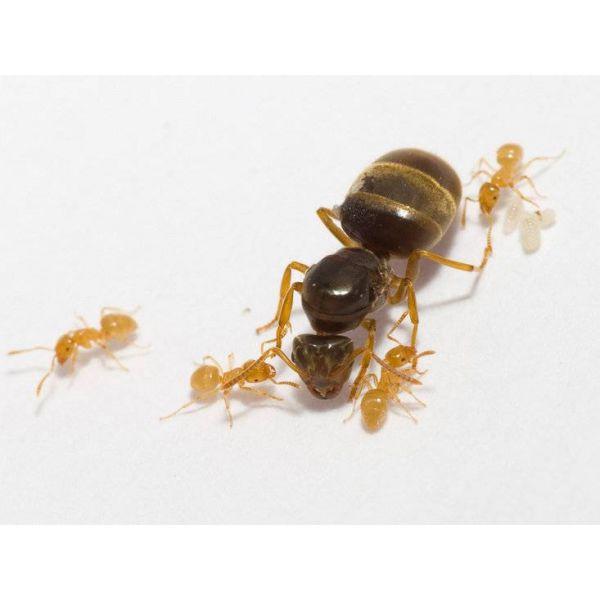 Ant's Kingdom Lasius Flavus 1-4