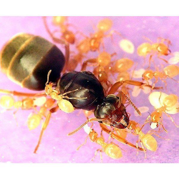 Ant's Kingdom Lasius Flavus 1-4 Queen