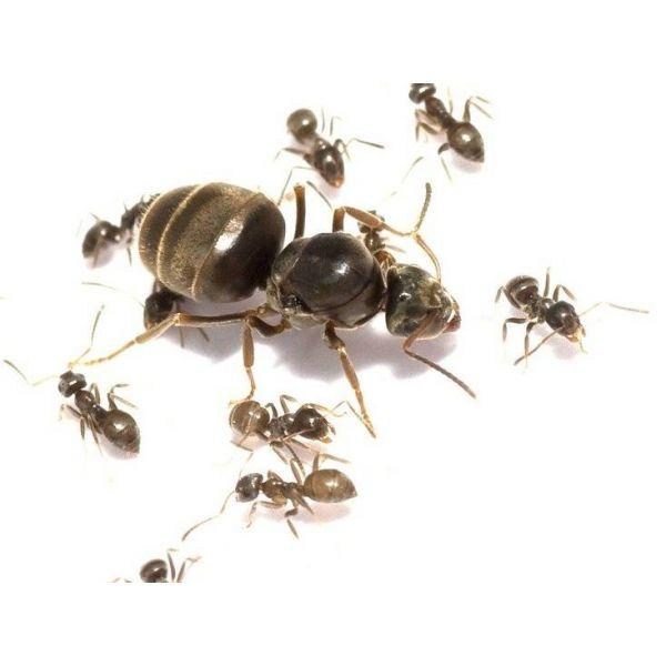 Ant's Kingdom Lasius Niger 1-4