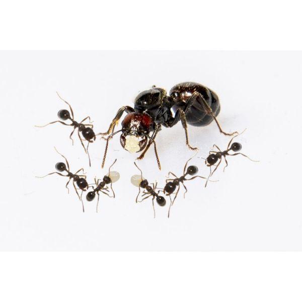 Mieren voor Mierenboerderij gips