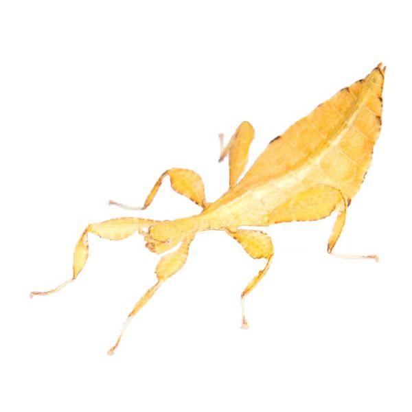 Phyllium philippinicus, psg 278 yellow