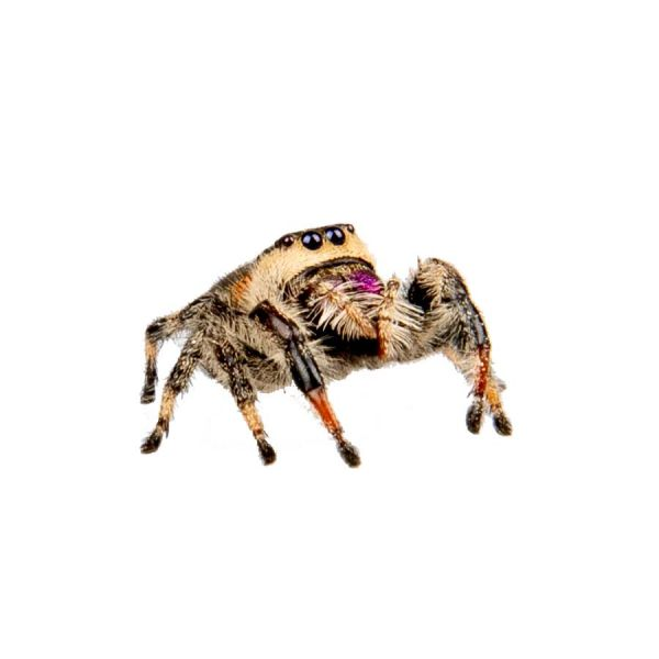 Phidippus regius soroa, jumping spider springspin