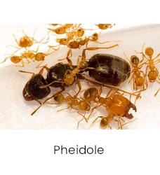 Pheidole kolonies